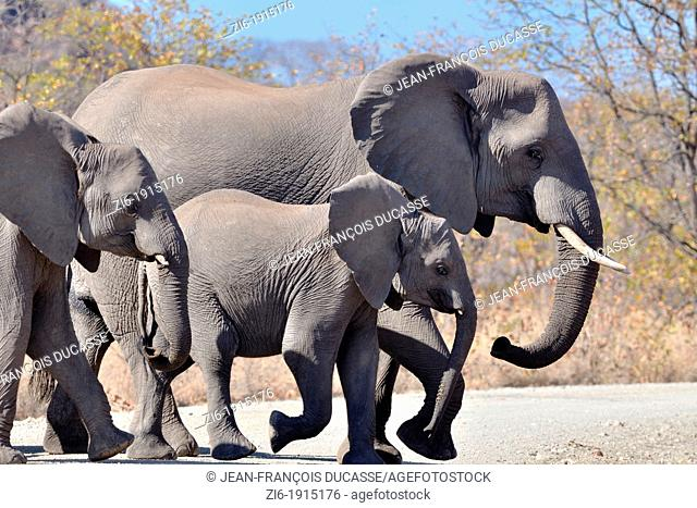 African Elephants, Loxodonta africana, crossing the gravel road, Kruger National Park, South Africa