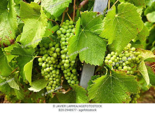 Le Vignoble, Vineyards of champagne, Urville, Aube, Champagne-Ardenne, France, Europe