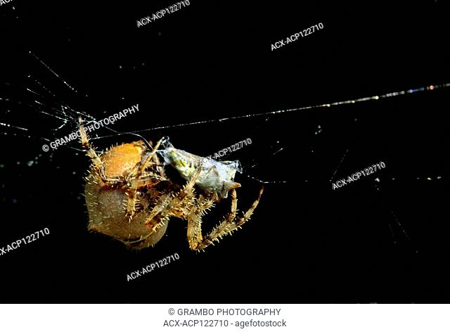Orb Weaver binding up grasshopper caught in web, Saskatchewan, Canada