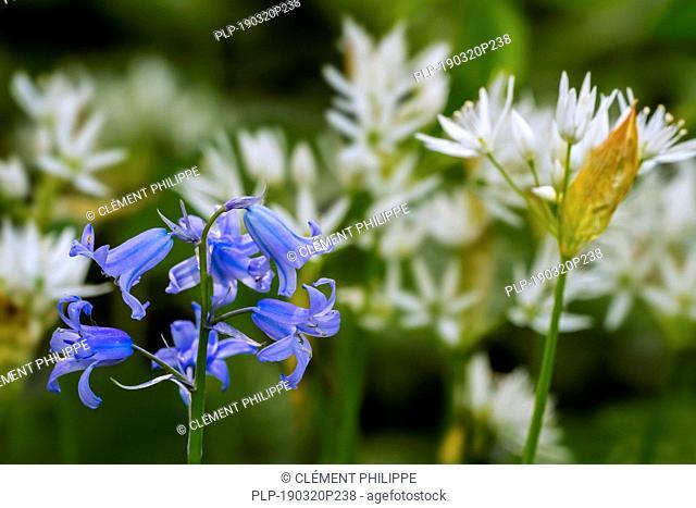 Bluebell (Endymion nonscriptus) and ramsons / buckrams / wild garlic / broad-leaved garlic / wood garlic (Allium ursinum) in flower in spring forest