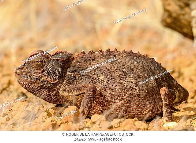 Namaqua Chameleon (Chamaeleo namaquensis). Desert Rhino Camp. Palmwag Concession. Namibia