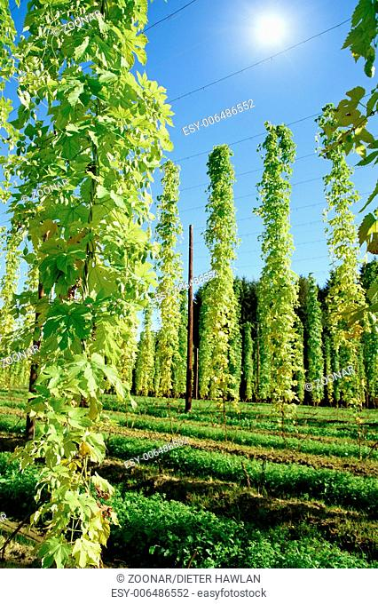 Growing Hop with Sun