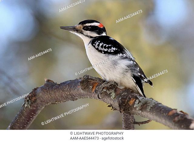 Hairy Woodpecker on branch (Picoides villosus) Northern Minnesota