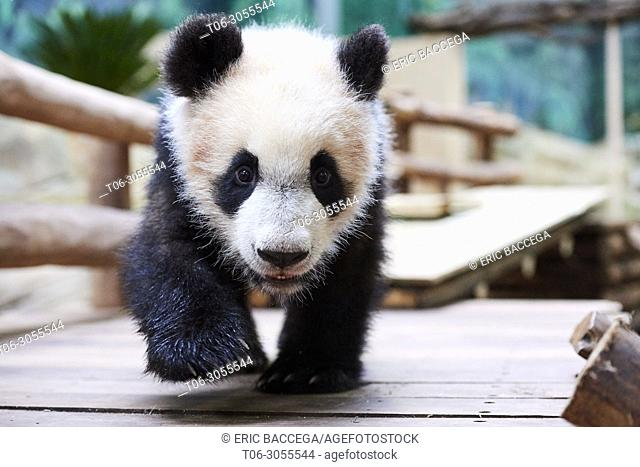 Giant panda cub (Ailuropoda melanoleuca) investigating its enclosure. Yuan Meng, first giant panda ever born in France, is now 8 months old, Zooparc de Beauval