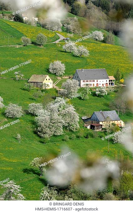 France, Haut Rhin, near Orbey, farms, pastures and cherry blossoms