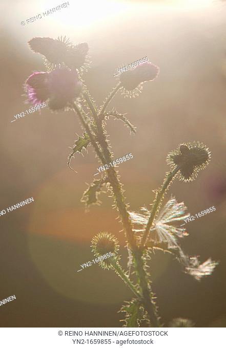 Silhouette of burdock plant and flowers  Location Oulu Finland Scandinavia Europe
