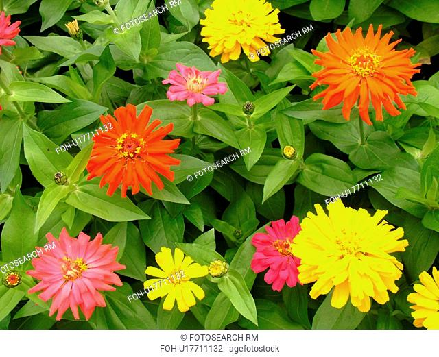 Montpelier, VT, Vermont, Farmer's Market, zinnias, flowers