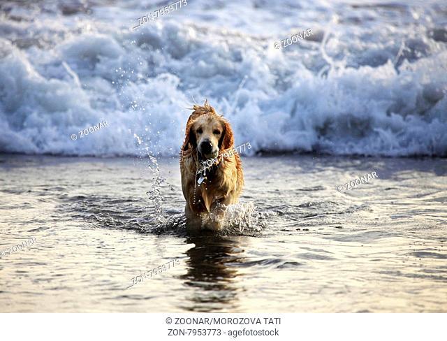 Labrador retriever coming out of water