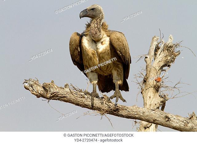 Cape Vulture (Necrosyrtes monachus). Savuti, Chobe National Park, Botswana