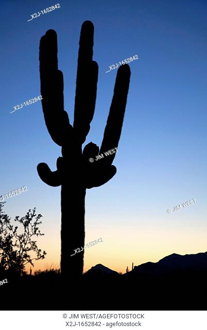 Ajo, Arizona - Saguaro cactus at sunrise in Organ Pipe Cactus National Monument