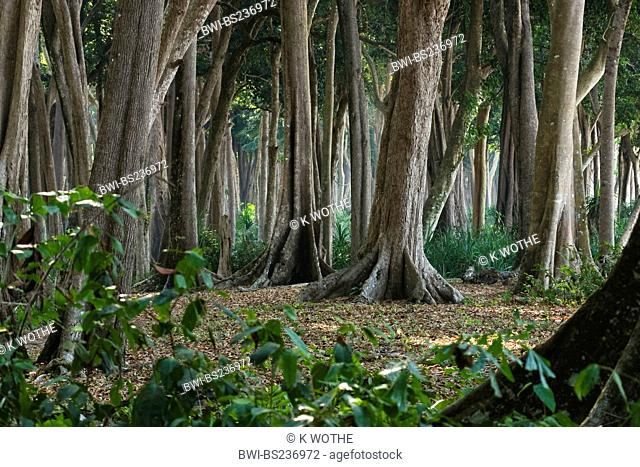 big trees with buttress roots in tropical rainforest, India, Andaman Islands, Havelock Island
