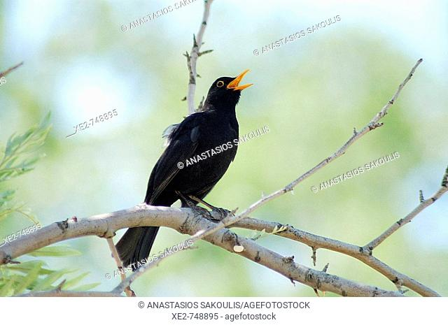 A singing male Blackbird (Turdus merula)