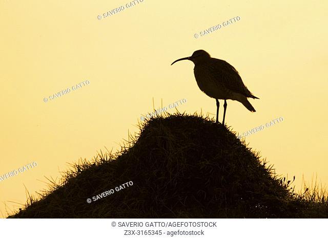 Eurasian Whimbrel (Numenius phaeopus islandicus), adult standing on the ground at dawn