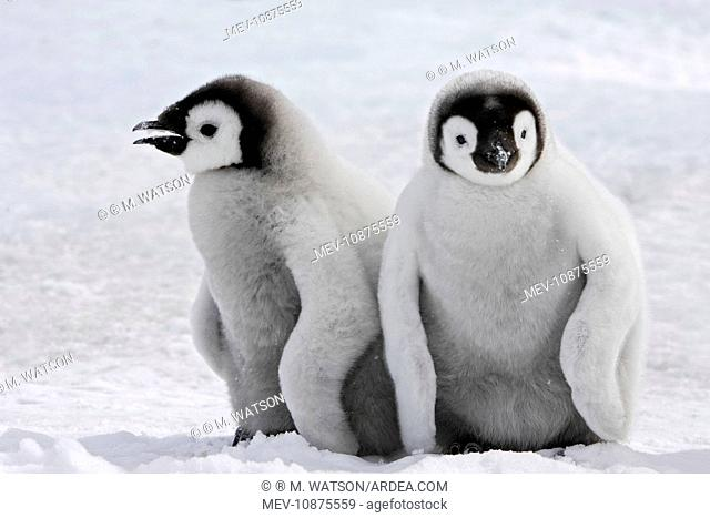 Emperor Penguin - two chicks (Aptenodytes forsteri). Snow hill island - Antarctica
