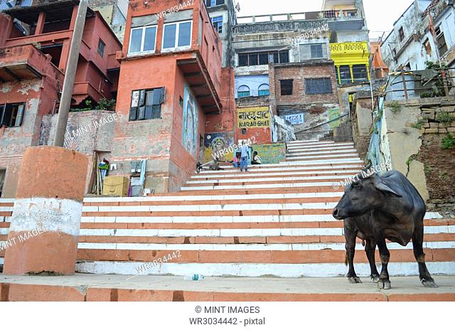 Cattle standing on the steps on the riverbank of the Ganges in Varanasi, India