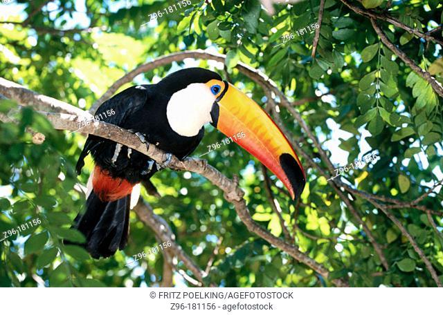 Toco Toucan (Ramphastos toco), captive. Brazil