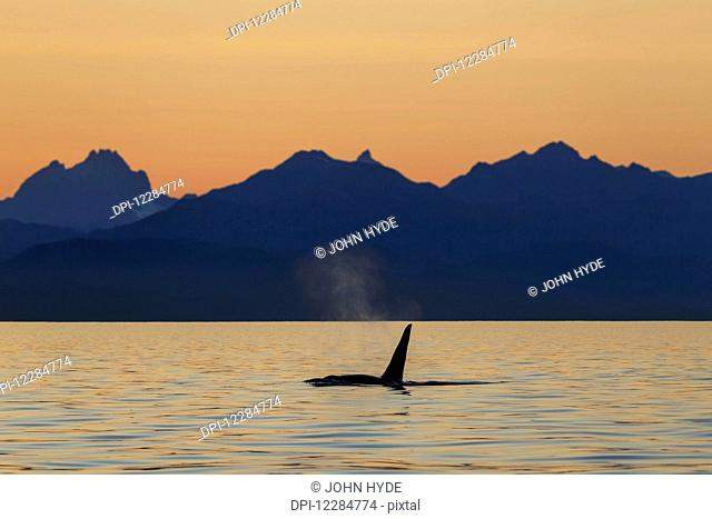 Orca Whale (Killer Whale) (Orcinus orca) surfaces in Lynn Canal on a summer evening, Inside Passage; Alaska, United States of America