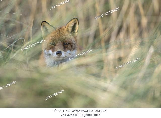 Red Fox ( Vulpes vulpes ), adult, hidden, hiding in high grass, looking directly into the camera, wildlife, Europe.