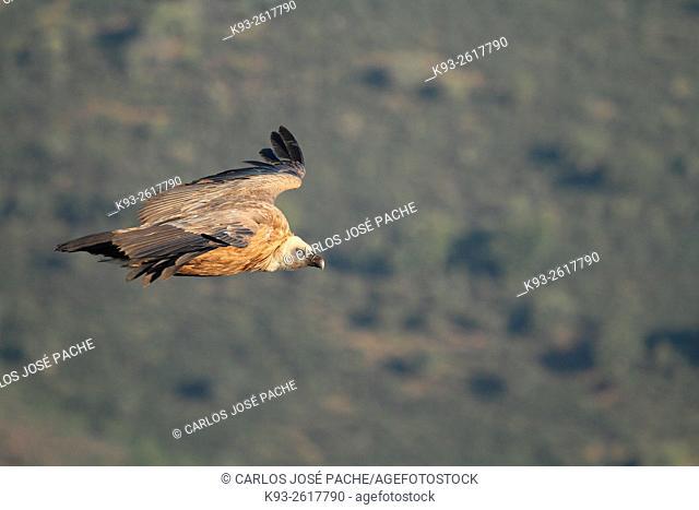 Buitre Leonado ( Gyps fulvus ) sobrevolando el Parque Nacional de Monfrague, Extremadura, Spain