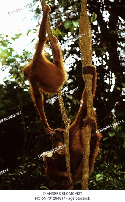 Sumatran Orangutans Pongo abelii hanging from a tree, Indonesia