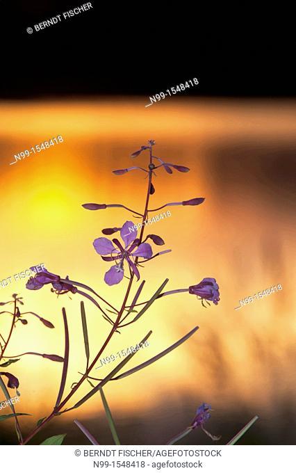 Willow herb Epilobium angustifolium, Chamerion angustifolium, midnight sun, reflection in Oulojärvi, Oulo river, Vaala, Finland