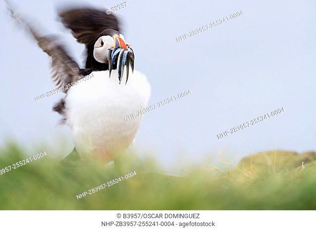 Atlantic Puffin (Fratercula arctica) with a beak full of sandeels, shaking wings after landing. Farne islands. Northumberland. UK