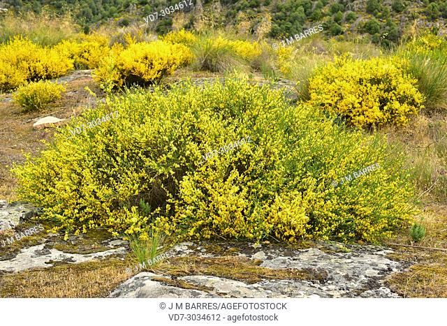 Genista hystrix is a shrub endemic to northwestern Iberian Peninsula. This photo was taken in Arribes del Duero Natural Park, Zamora province, Castilla-Leon