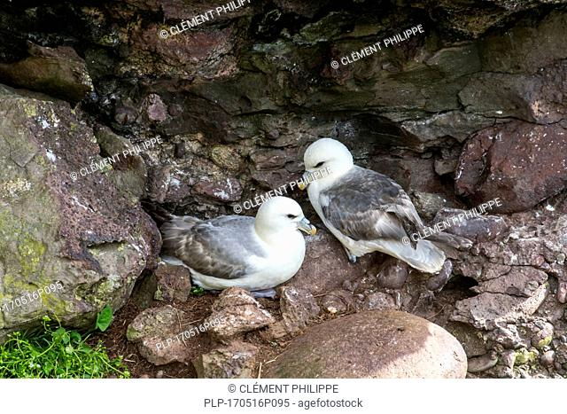 Northern fulmars / Arctic fulmar pair (Fulmarus glacialis) nesting on rock ledge in sea cliff face at seabird colony, Fowlsheugh, Scotland, UK
