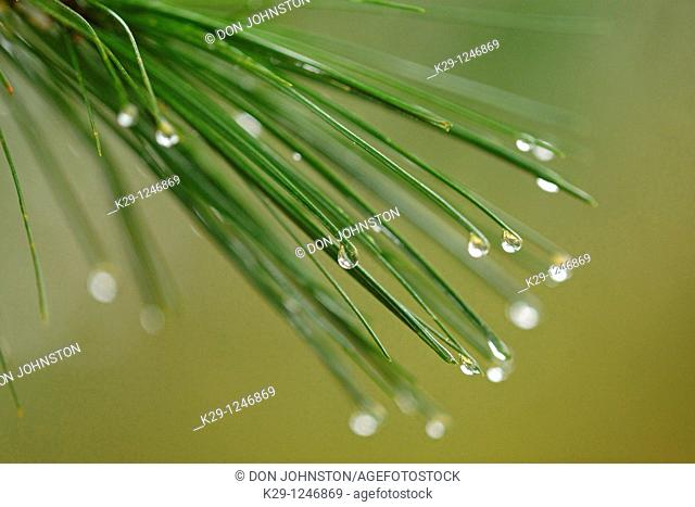 Eastern white pine Pinus strobus Needles with raindrops