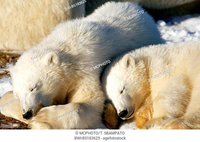 polar bear (Ursus maritimus), two young individuals sleeping, Canada, Manitoba, Hudson Bay, Churchill