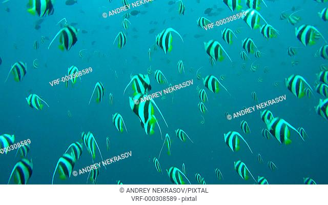 Large school of Schooling bannerfish - Heniochus diphreutes in the blue water, Indian Ocean, Maldives