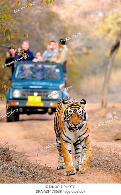 Tourist vehicles following tiger panthera tigris tigris , Ranthambore national park , Rajasthan , India