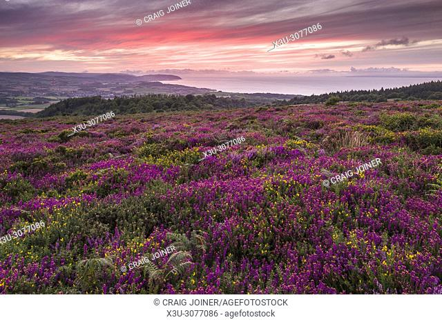 Bell heather and gorse in flower on Beacon Hill in the Quantock Hills in late summer with the Bristol Channel beyond. Weacombe, Somerset, England