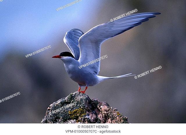 STERNA PARADISAEAARCTIC TERNSINGLE FLAPPING WINGSFOULA - SHETLAND