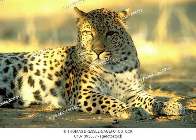 Leopard Panthera pardus - Resting female  Photographed in captivity in Namibia