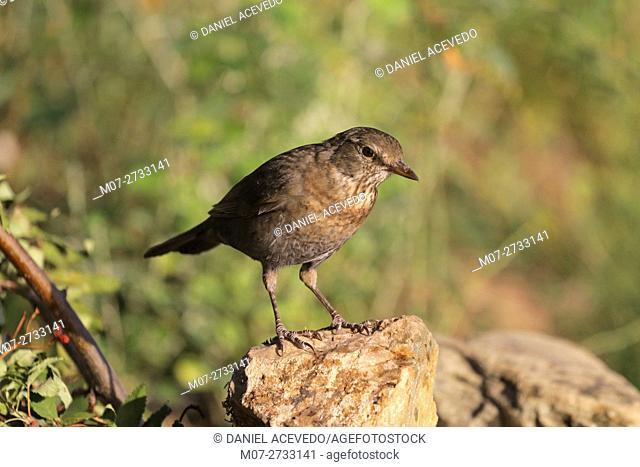 Young blackbird (Turdus merula)
