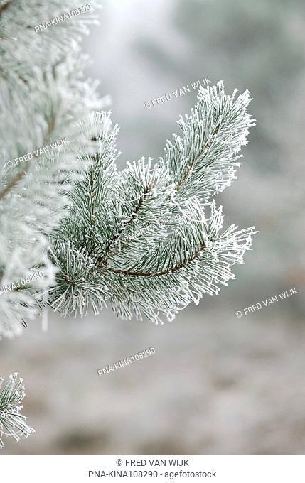 Scots Pine Pinus sylvestris - Planken Wambuis, Ede, Veluwe, Guelders, The Netherlands, Holland, Europe