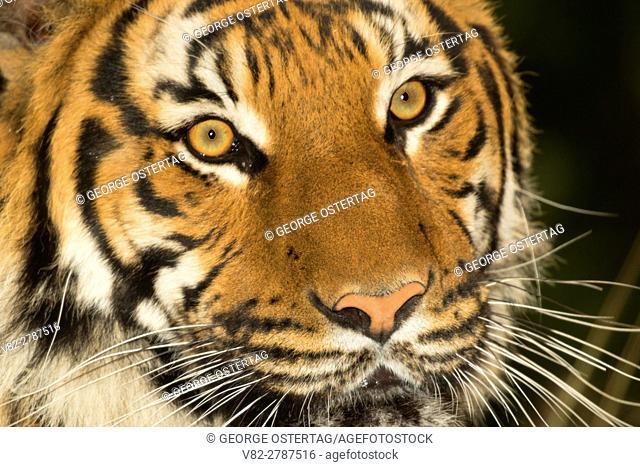 Malayan tiger, Woodland Park Zoo, Seattle, Washington