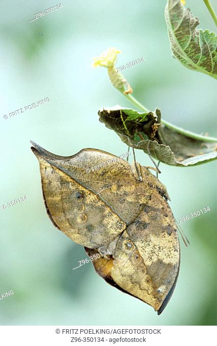Dead Leaf Butterfly (Kallima inachus), captive in garden. Germany