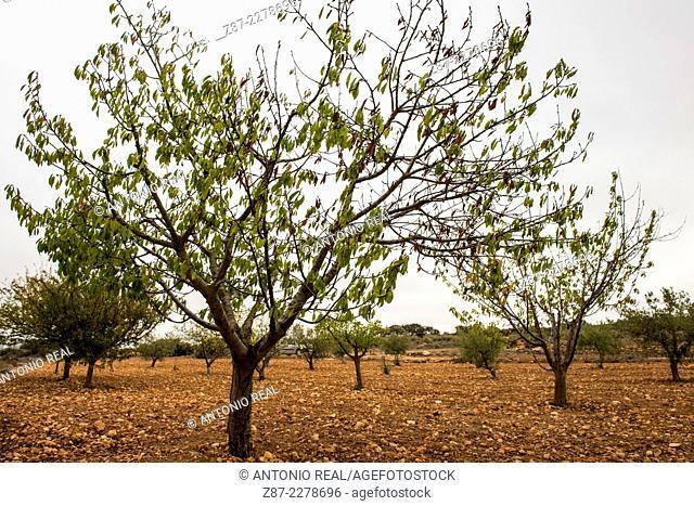 Cherry tree, Almansa, Albacete province, Castilla-La Mancha, Spain
