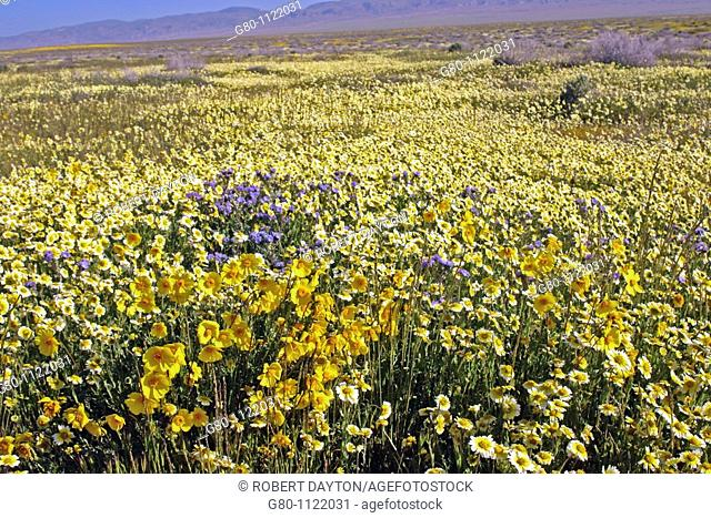 Wildflowers carpet the Carrizo Plain of Southern California in the spring