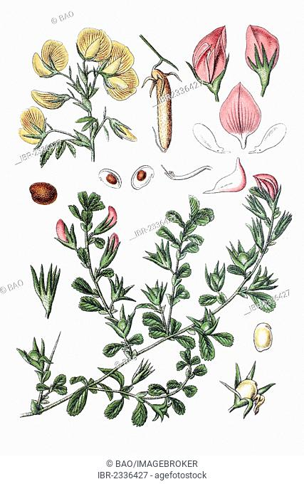 Below: Common Restharrow (Ononis repens), above: Large Yellow Restharro (Ononis natrix), medicinal plant, historical chromolithography, ca. 1796