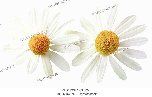 Two Chamomile Flowers On White