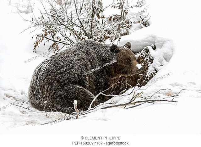 Brown bear (Ursus arctos) entering den during snow shower in autumn / winter