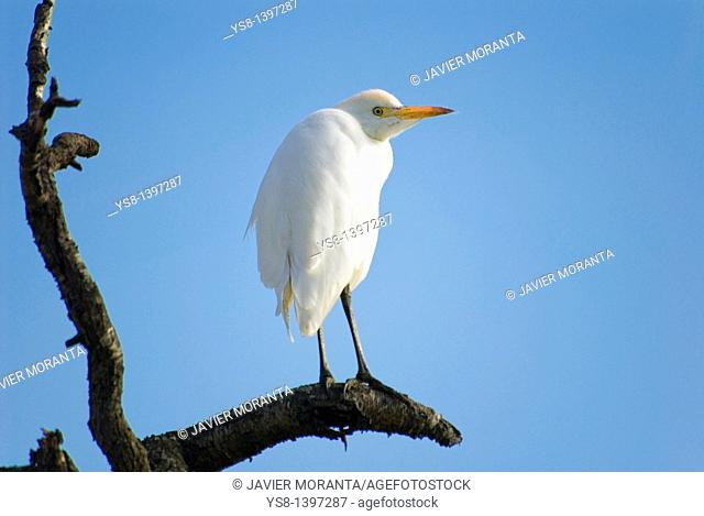 Spain, Balearic Islands, Mallorca, Cattle Egret, Bubulcus ibis
