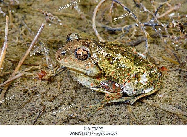 common spadefoot, garlic toad (Pelobates fuscus), sitting in shallow water, Romania, Moldau, Iași