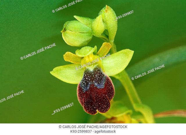 Sombre bee-orchid (Ophrys fusca), Serra de Tramuntana, Majorca, Balearic Islands, Spain