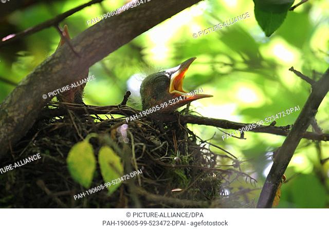 05 June 2019, Bavaria, Kaufbeuren: Two young blackbirds wait in a garden in their nest with open beaks to be fed by their mother