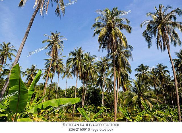 Palm Trees on Ko Chang, Thailand