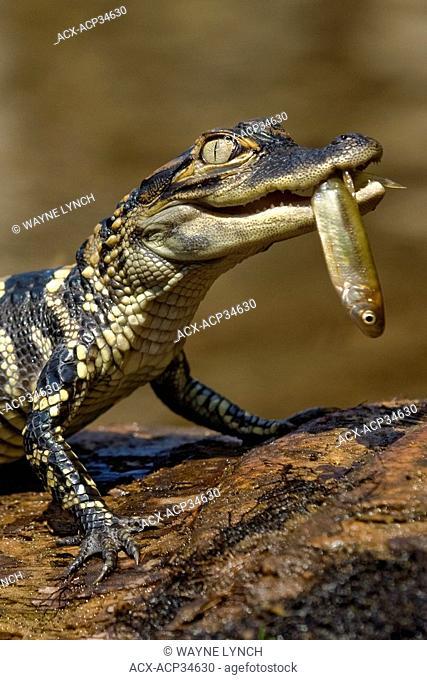 Hatchling American alligator Alligator mississippiensis, central Florida, USA
